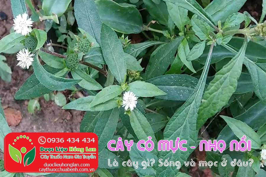CAY-CO-MUC-NHO-NOI-LA-CAY-GI-CTY-DUOC-LIEU-HONG-LAN