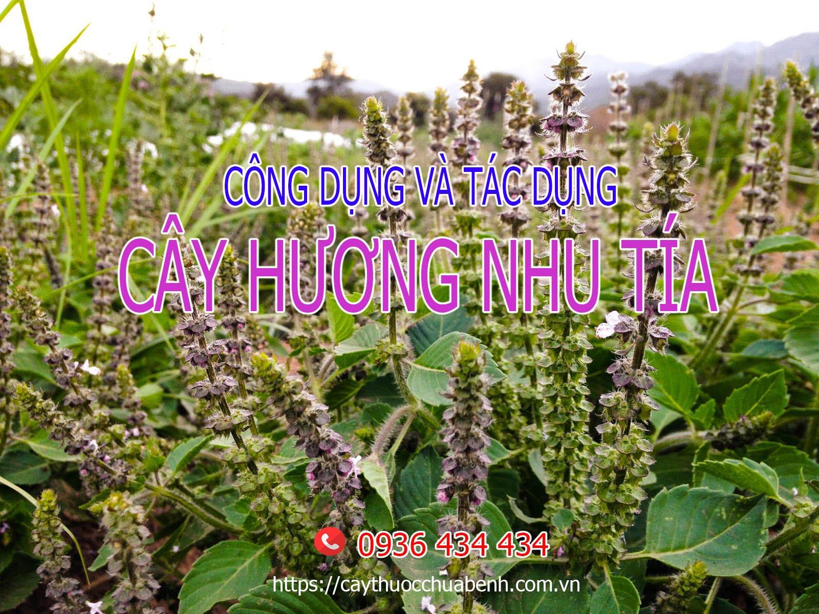 Mua bán Cây Hương Nhu Tía
