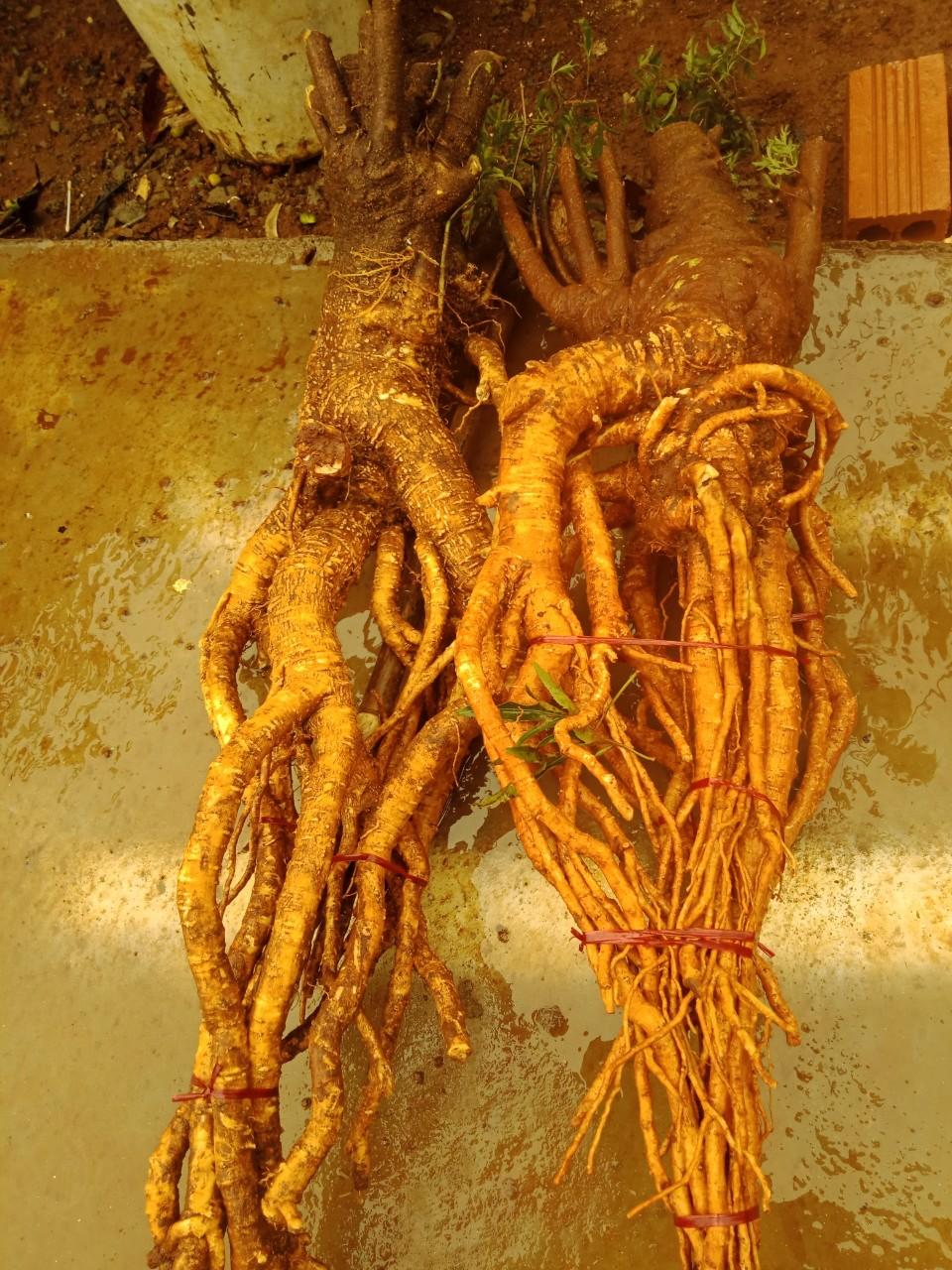 Mua bán củ (rễ) Đinh Lăng tươi nếp lá nhỏ
