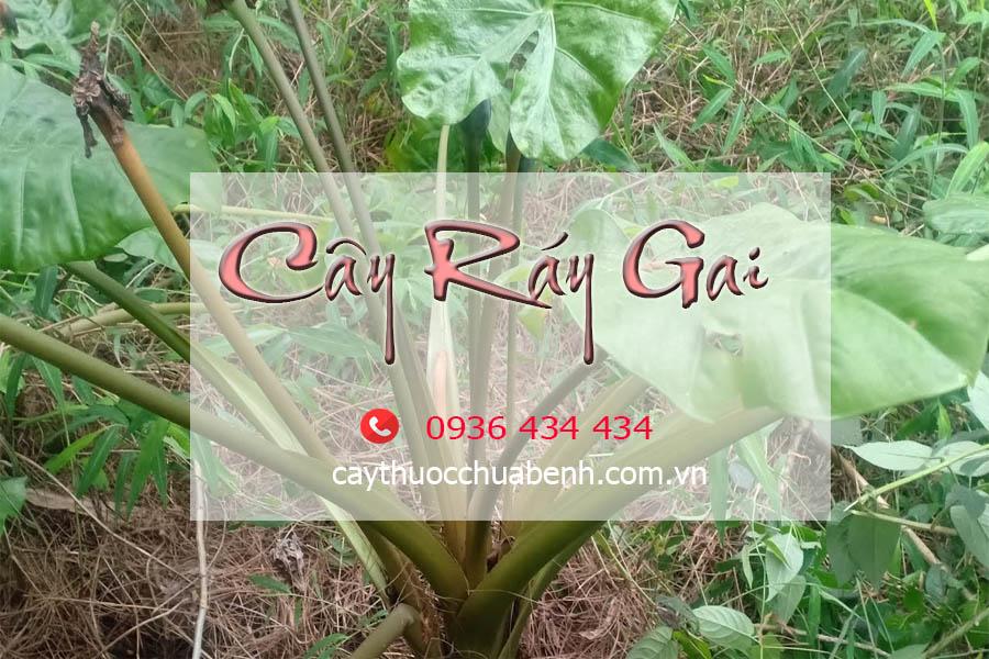 CAY_RAY_GAI_TUOI-TRONG_TU_NHIEN