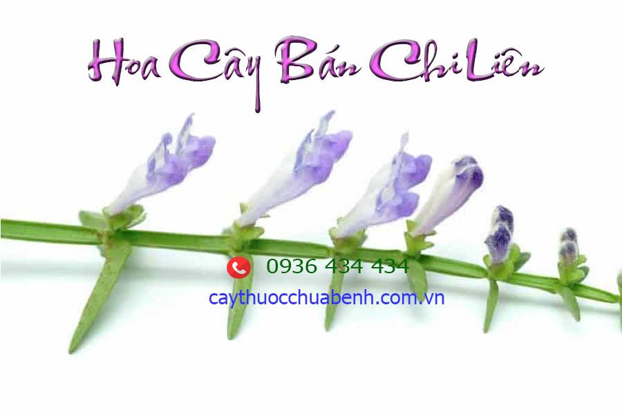 HOA CAY BAN CHI LIEN