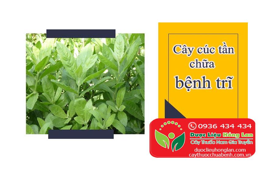 CAY_CUC_TAN_CHUA_BENH_TRI_DUOC_LIEU_HONG_LAN