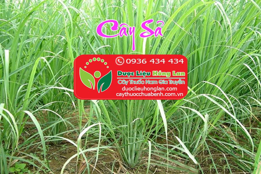 CAY_SA_DUOC_LIEU_HONG_LAN