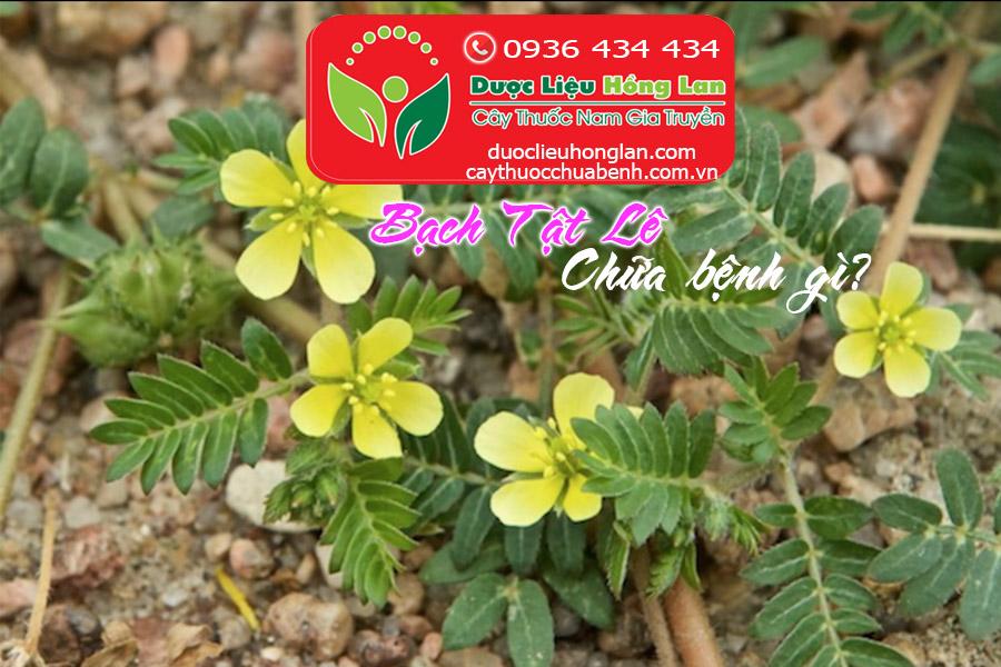 CAY-BACH-TAT-LE-CHUA-BENH-GI_DUOC_LIEU_HONG_LAN