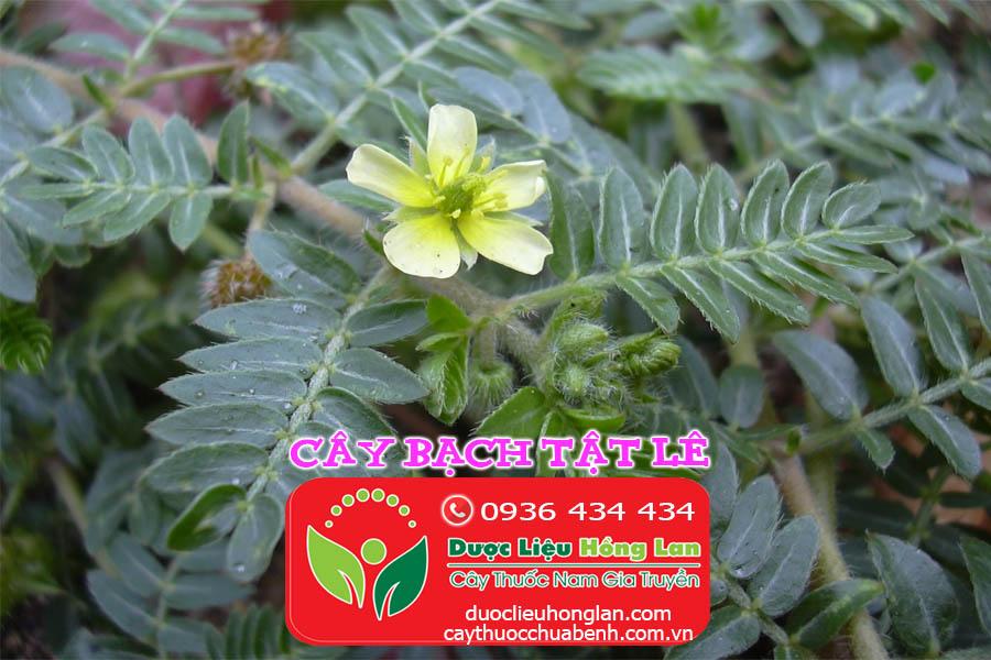 CAY-BACH-TAT-LE_DUOC_LIEU_HONG_LAN