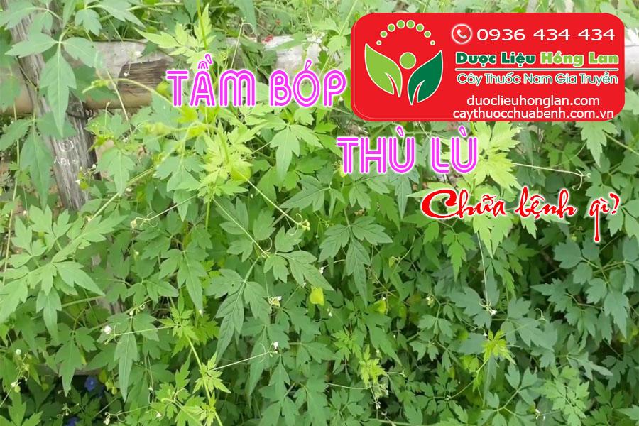 CAY-TAM-BOP-THU-LU-CHUA-BENH-GI-CTY-DUOC-LIEU-HONG-LAN