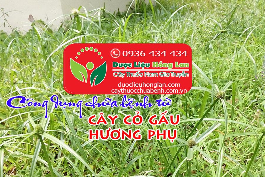 CONG-DUNG-TAC-DUNG-CHUA-BENH-CUA-CAY-CO-GAU-HUONG-PHU-CTY-DUOC-LIEU-HONG-LAN