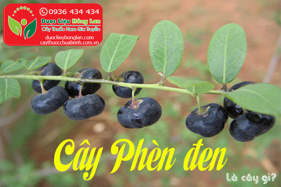CAY-PHEN-DEN-LA-CAY-GI-CTY-DUOC-LIEU-HONG-LAN
