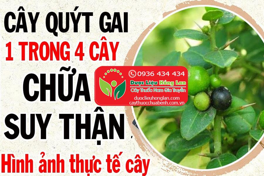 CAY-QUYT-GAI-CHUA-BENH-SUY-THAN-CTY-DUOC-LIEU-HONG-LAN