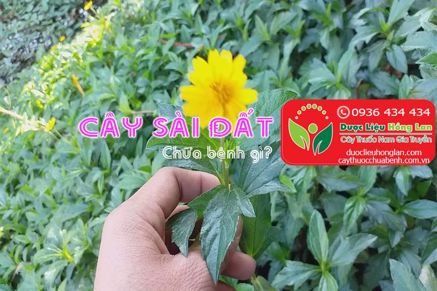 CAY-SAI-DAT-CHUA-BENH-GI-CTY-DUOC-LIEU-HONG-LAN