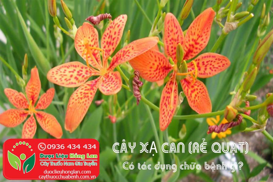 CAY-XA-CAN-RE-QUAT-CO-TAC-DUNG-CHUA-BENH-GI-CTY-DUOC-LIEU-HONG-LAN