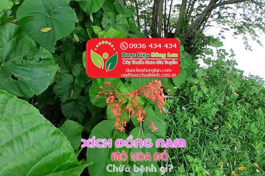 CAY-XICH-DONG-NAM-MO-HOA-DO-CHUA-BENH-GI-CTY-DUOC-LIEU-HONG-LAN