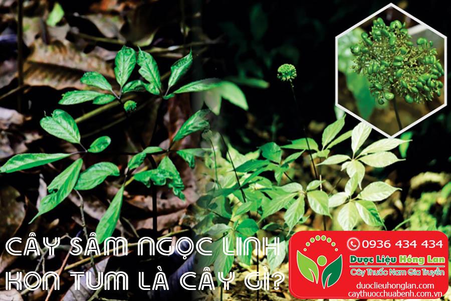 SAM-NGOC-LINH-KON-TUM-LA-CAY-GI-CTY-DUOC-LIEU-HONG-LAN